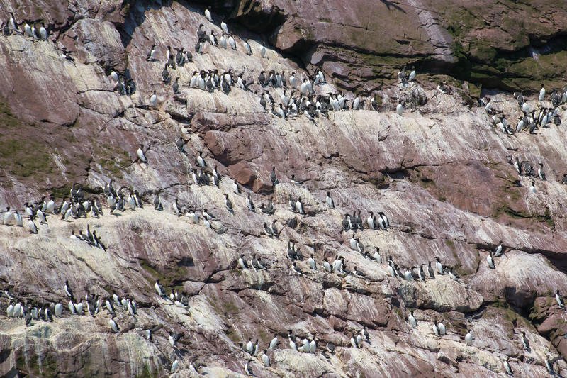Common Murre. Colony nesting on a cliff stock image