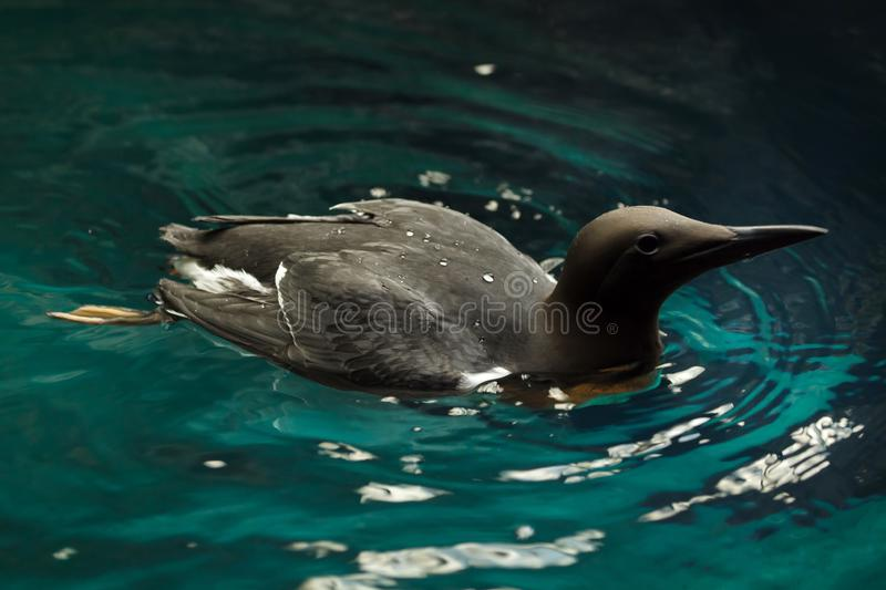Common murre Uria aalge royalty free stock images