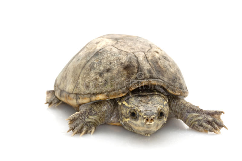 Common Musk Turtle stock image