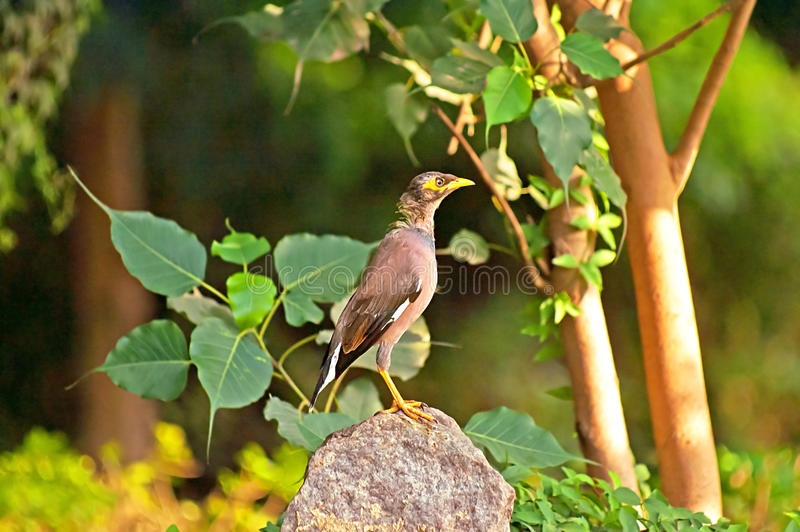 Common Myna Acridothere tristis, India royalty free stock photo