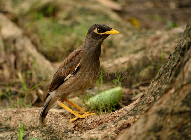 Common myna bird. The common myna or Indian myna. Scientific name - Acridotheres tristis. The myna has adapted extremely well to urban environments. This one royalty free stock images