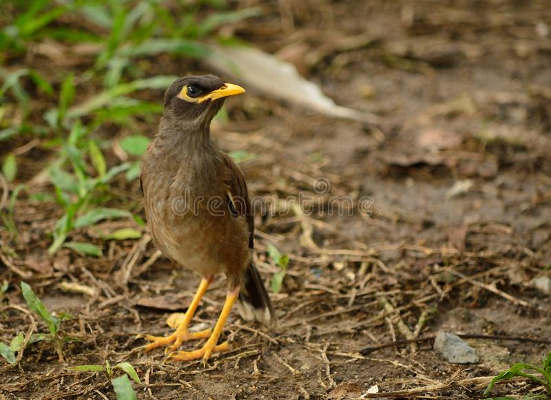 Common myna bird. The common myna or Indian myna. Scientific name - Acridotheres tristis. The myna has adapted extremely well to urban environments. This one royalty free stock photo
