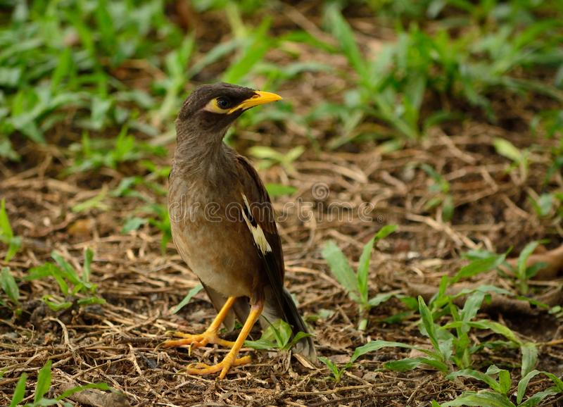 Common myna bird. The common myna or Indian myna. Scientific name - Acridotheres tristis. The myna has adapted extremely well to urban environments. This one stock image