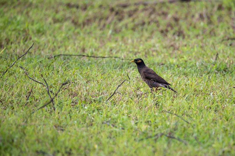 The Common Myna is brown with a black head. It has a yellow bill, legs and bare eye skin.The Common Myna is a member of the starli. Ng family and is also known royalty free stock images