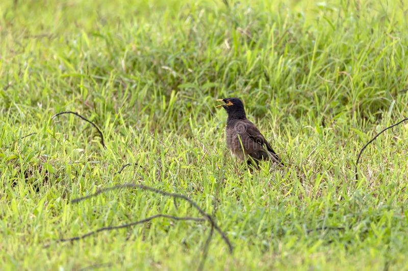 The Common Myna is brown with a black head. It has a yellow bill, legs and bare eye skin.The Common Myna is a member of the starli. Ng family and is also known royalty free stock photography
