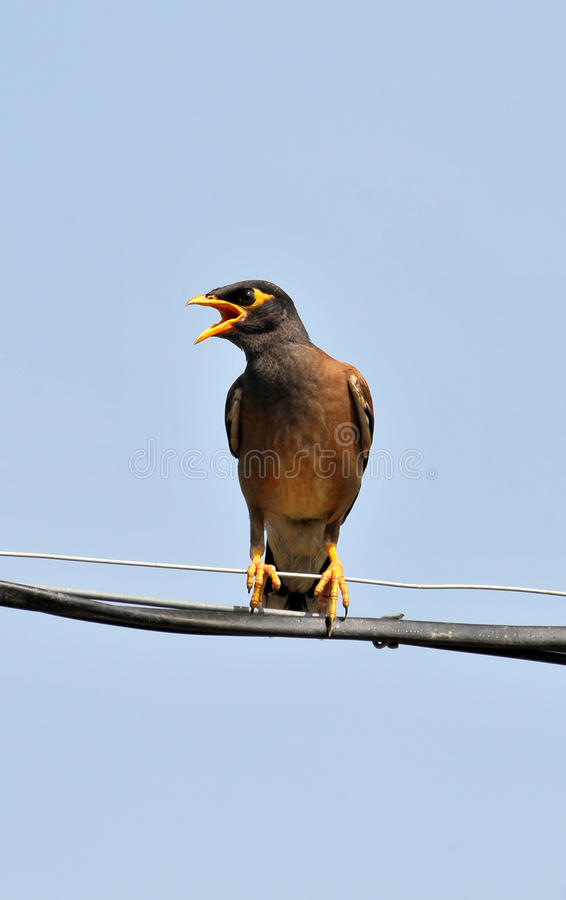 Download Common Myna Calling Her Mate Stock Image - Image: 10390033