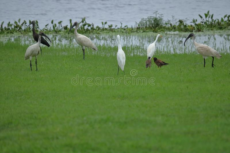 Common myna, great egrets. Black headed white ibs bird togethers royalty free stock photo