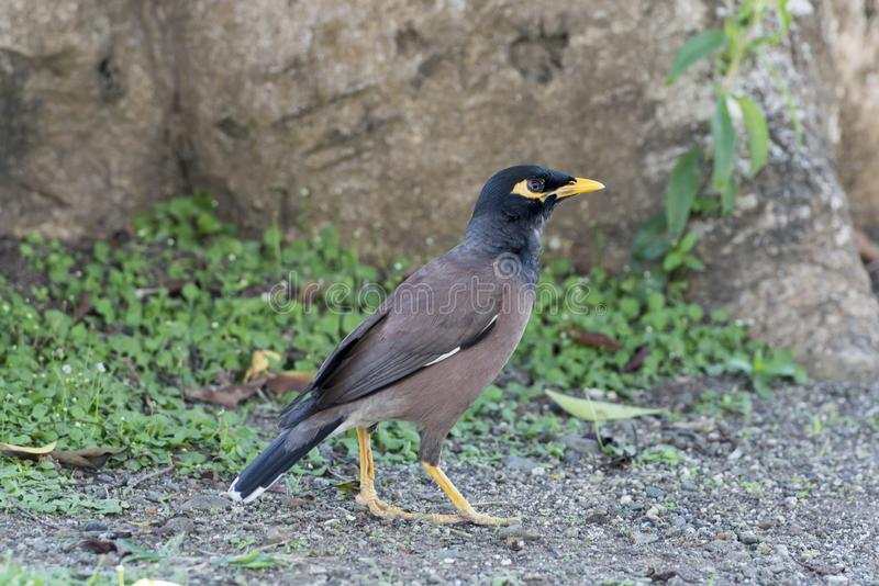 Common myna - Indian mynah, Acridotheres tristis royalty free stock images