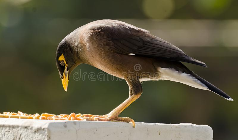 The common myna. /Indian mynah Acridotheres tristis, sometimes spelled mynah, also sometimes known as `Indian myna`,is a member of the family Sturnidae starlings stock photography