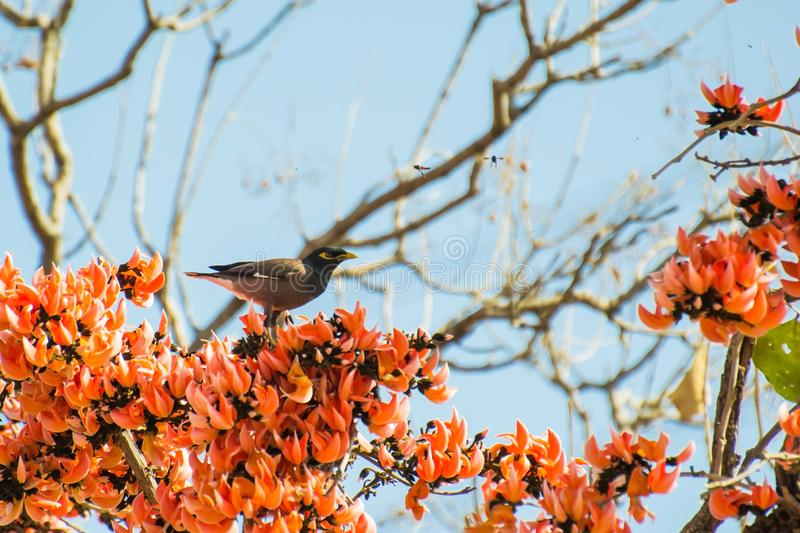 Common Myna Perching of Flame of the Forest Tree stock photography