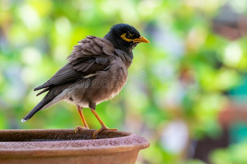A Common myna puffing up its plumage while perching on a bowl. Of water royalty free stock photography