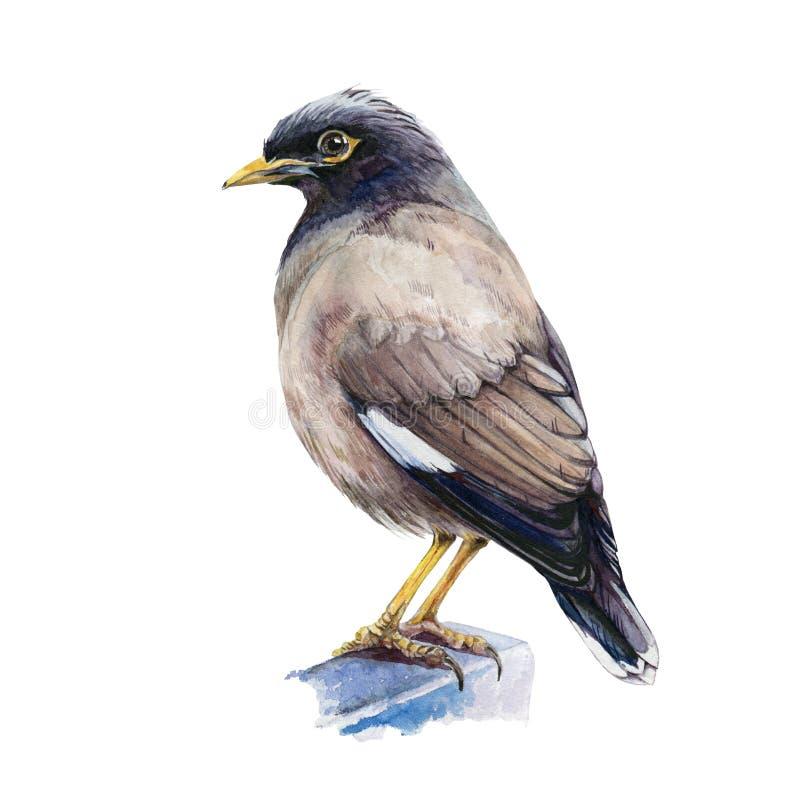 Common mynah watercolor-illustratie Indische vogel, met één hand opgesteld, close-up image Tropische aziatische mynah geïsoleerd  royalty-vrije illustratie