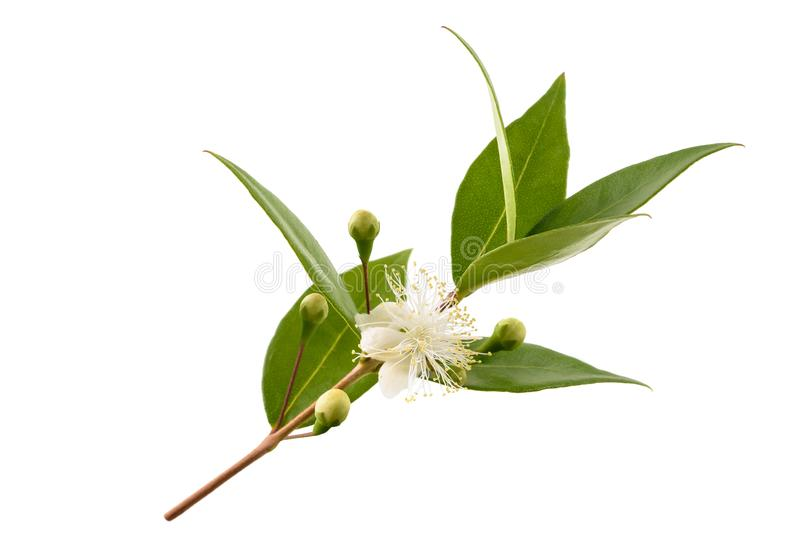 Common myrtle royalty free stock image