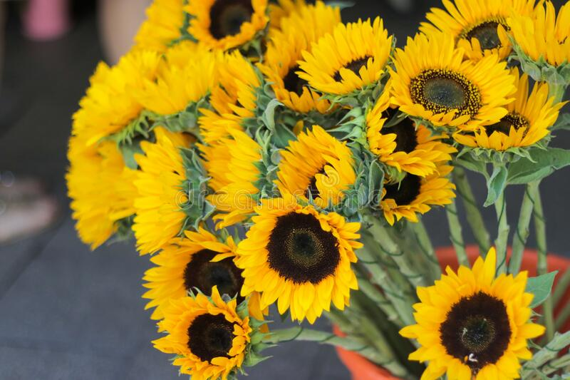 The common name, `sunflower`, typically refers to the popular annual species Helianthus annuus, or the common sunflower,. Whose round flower heads in stock photo