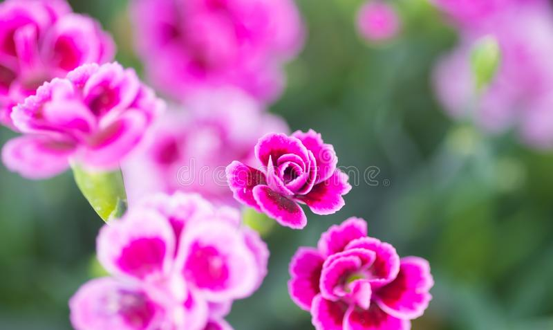 Dianthus pink kisses. Common names are pot carnation, Family Caryophyllaceae. Dianthus can be annuals, evergreen perennials or subshrubs with narrow, often royalty free stock images
