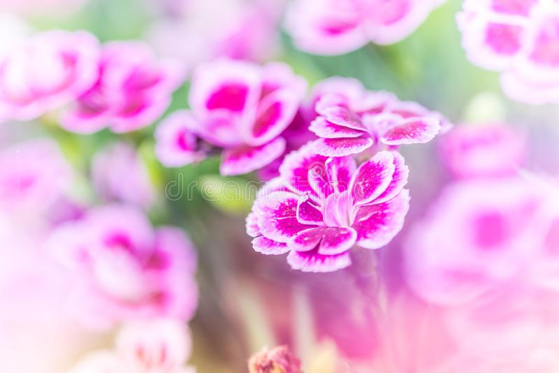 Dianthus pink kisses. Common names are pot carnation, Family Caryophyllaceae. Dianthus can be annuals, evergreen perennials or subshrubs with narrow, often royalty free stock photography