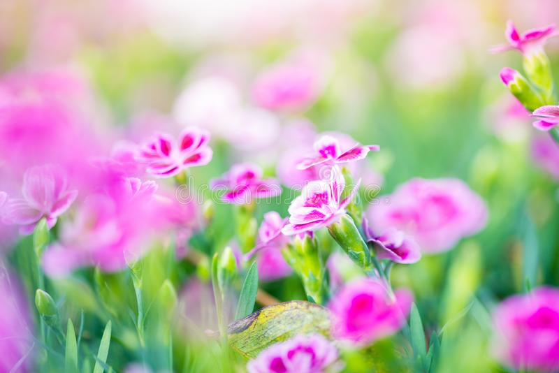 Dianthus pink kisses. Common names are pot carnation, Family Caryophyllaceae. Dianthus can be annuals, evergreen perennials or subshrubs with narrow, often stock image