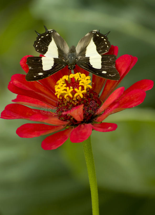 Common Nawab Butterfly Royalty Free Stock Image