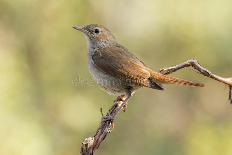 Common Nightingale, ( Luscinia megarhynchos ) royalty free stock images