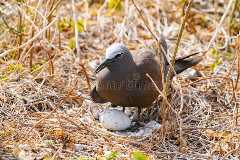 Common noddy with one large egg in ground nest stock photos