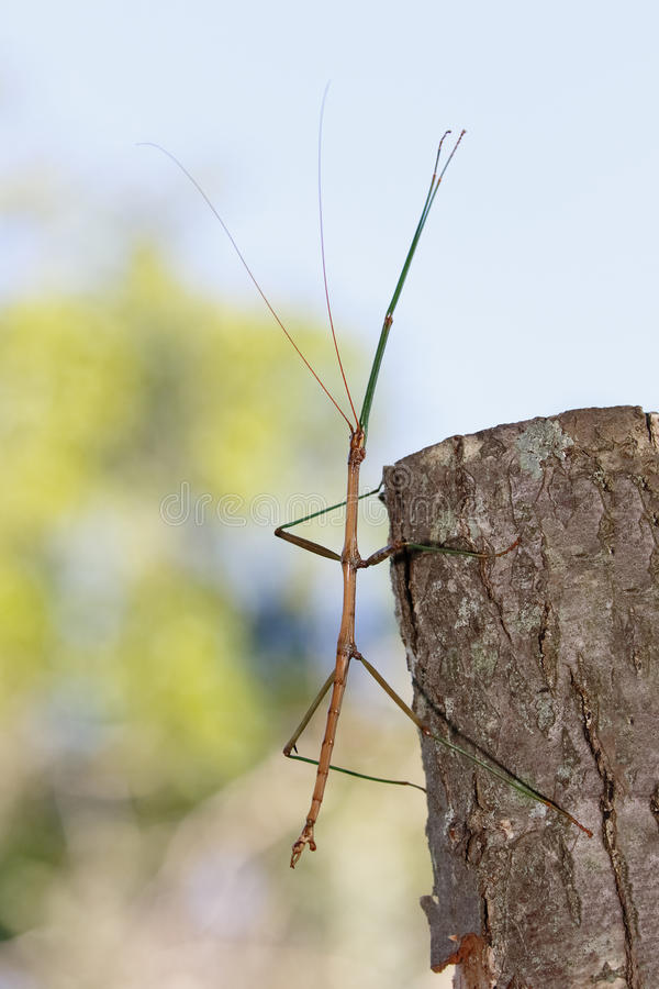 Common or Northern Walking Stick stock photography