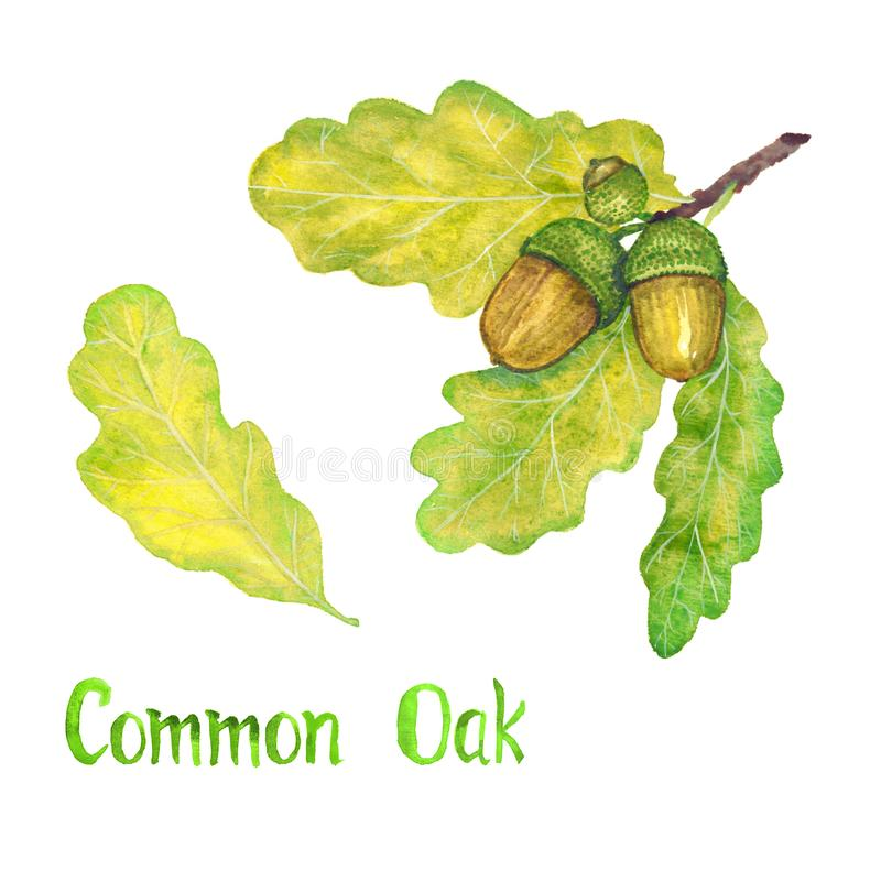 Common oak branch with green leaves and acorns, hand painted watercolor illustration with inscription isolated stock illustration