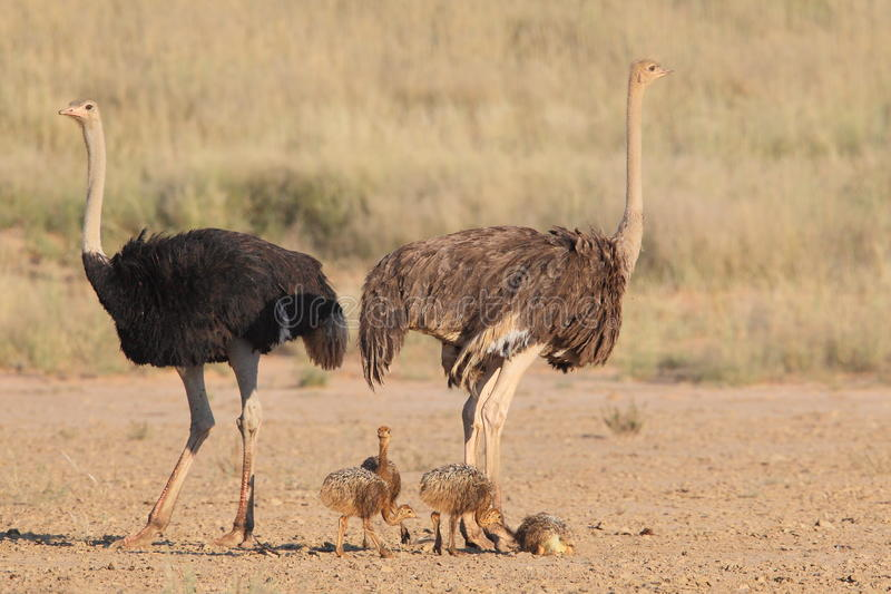 Common Ostrich stock images