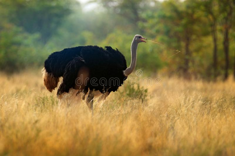 Common ostrich, Struthio camelus, big bird feeding green grass in savannah, Kruger NP, South Africa. Ostrich in nature habitat, stock photography