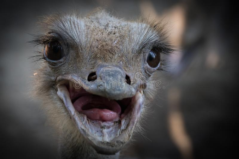 The common ostrich Struthio camelus stock image