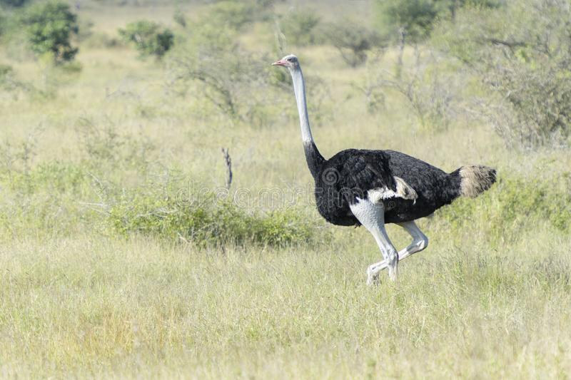 Common ostrich walking on savanna. Common ostrich Struthio camelus walking on savanna, Kruger national park, South Africa royalty free stock image