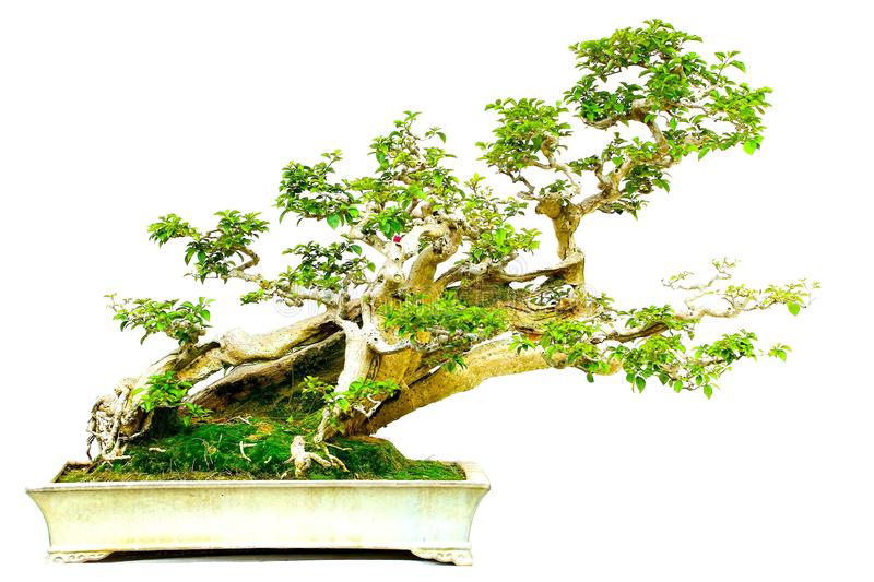 246 Bougainvillea Bonsai Photos Free Royalty Free Stock Photos From Dreamstime