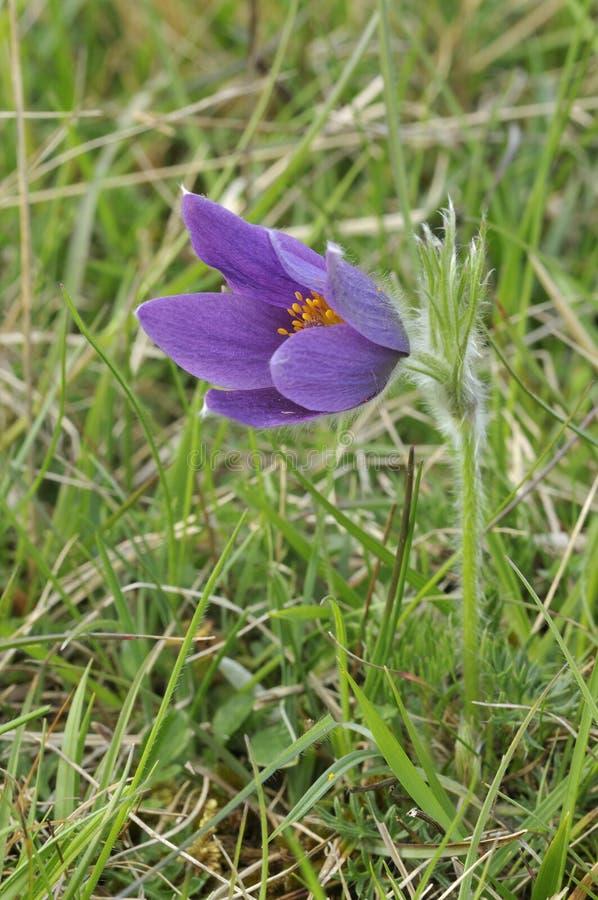 Common Pasque Flower royalty free stock photo