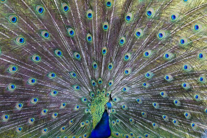 Download Common Peafowl Royalty Free Stock Photography - Image: 5084177