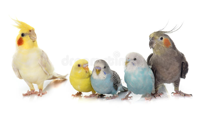 Common pet parakeet and Cockatiel stock photography