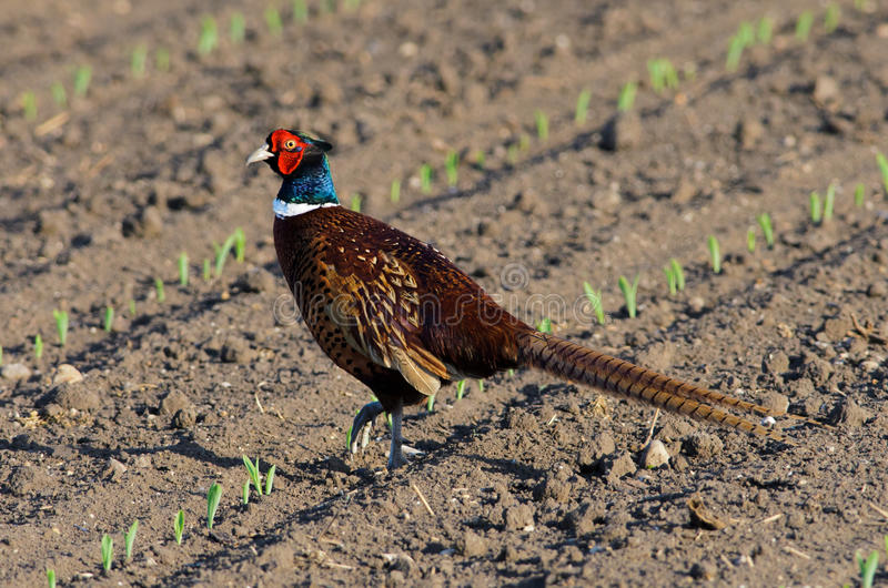 Download Common Pheasant stock photo. Image of male, nature, wildlife - 24728120
