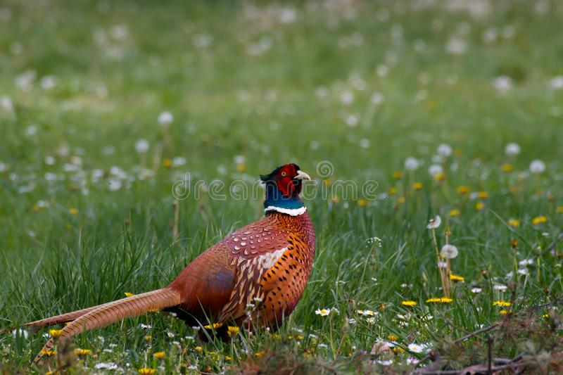 Common pheasant in the field. Ring necked pheasant in the field of flowers stock photos