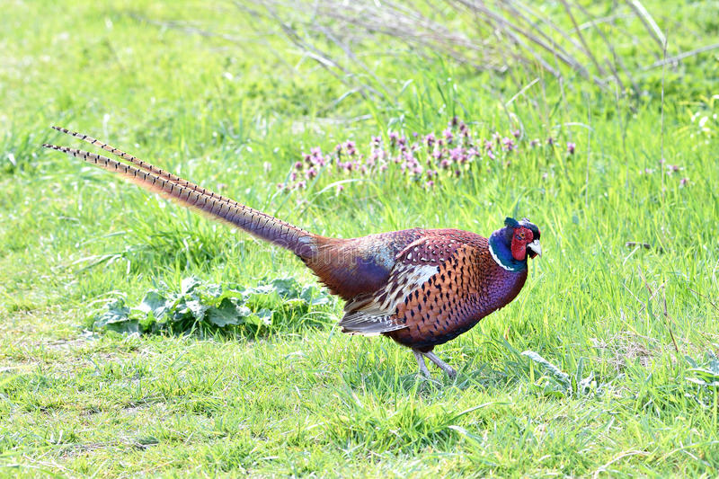 Common Pheasant (Phasianus colchicus). Common Pheasant looking for food in its habitat stock photography