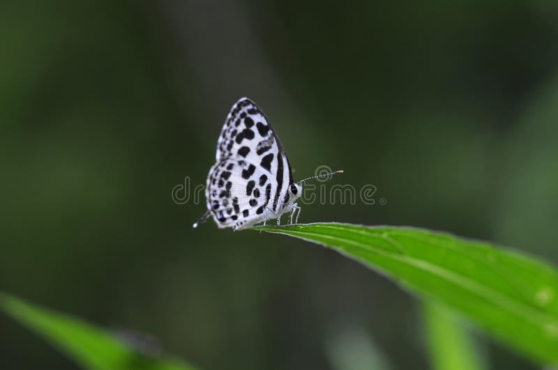 Common Pierrot small butterfly stock photo