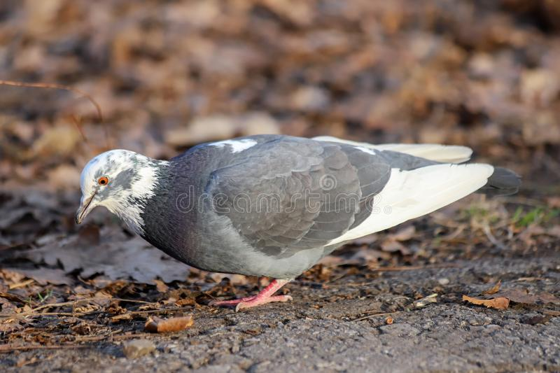 A common pigeon Columba livia with partially white plumage color variation. A common pigeon with partially white plumage color variation. Russia, Spring stock photography