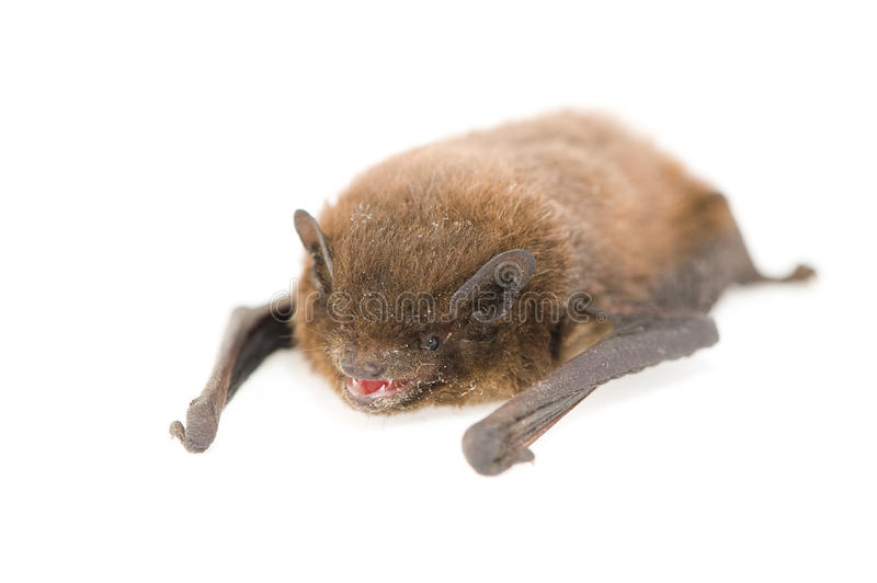 Common pipistrelle stock images