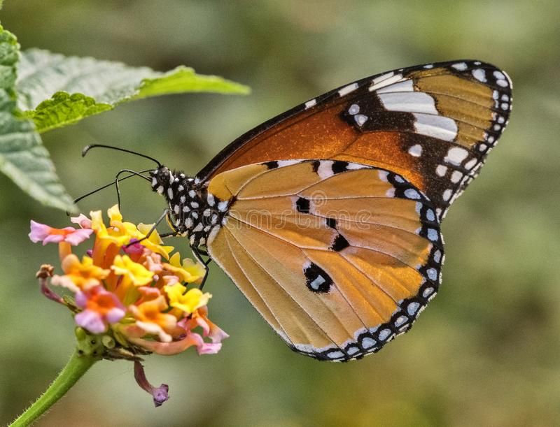 Common plain tiger butterfly. Sucking nector from the wild flower royalty free stock images