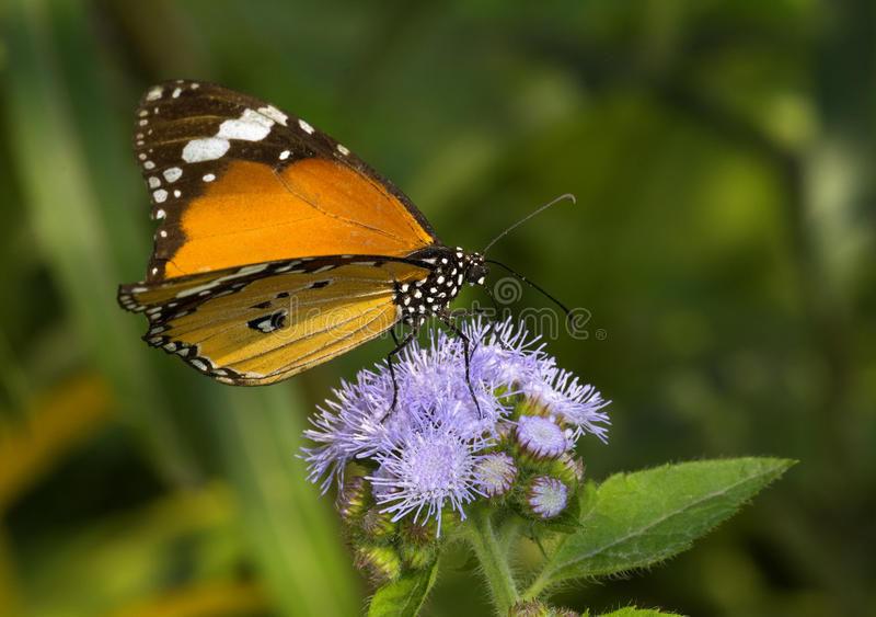 Common Plain tiger butterfly. Sucking nector from the wild flower royalty free stock photo