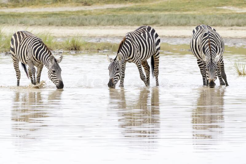 Common or Plains Zebra drinking from pool royalty free stock photo