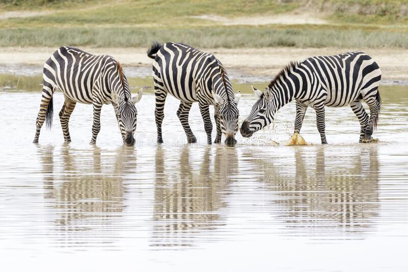 Common or Plains Zebra drinking from pool stock images