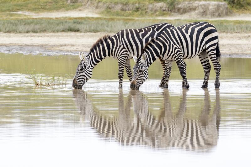 Common or Plains Zebra drinking from pool stock photo