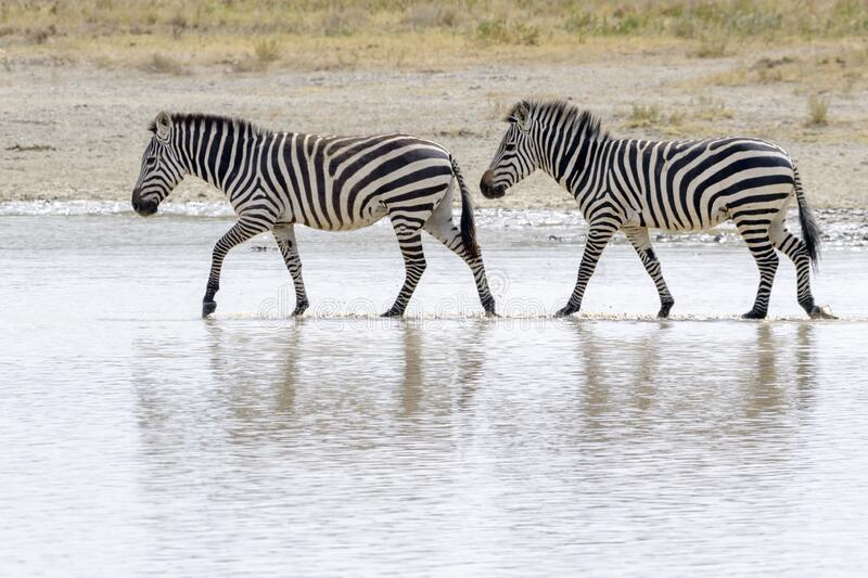 Common or Plains Zebra drinking from pool royalty free stock photos