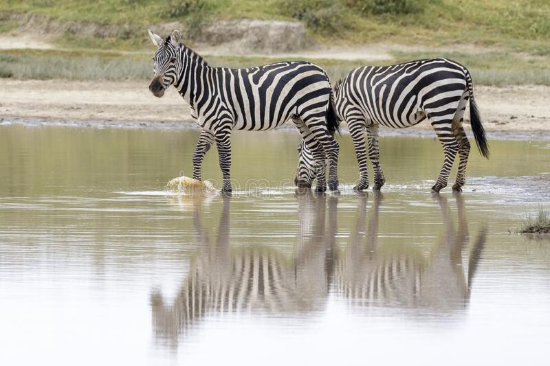 Common or Plains Zebra drinking from pool stock photos