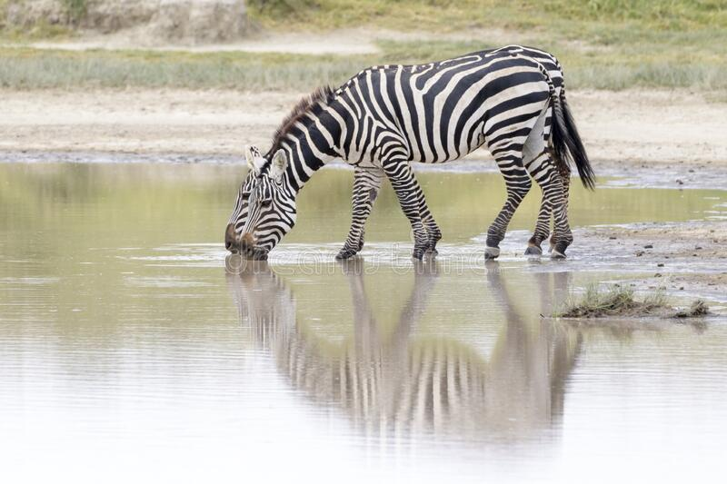 Common or Plains Zebra drinking from pool royalty free stock image