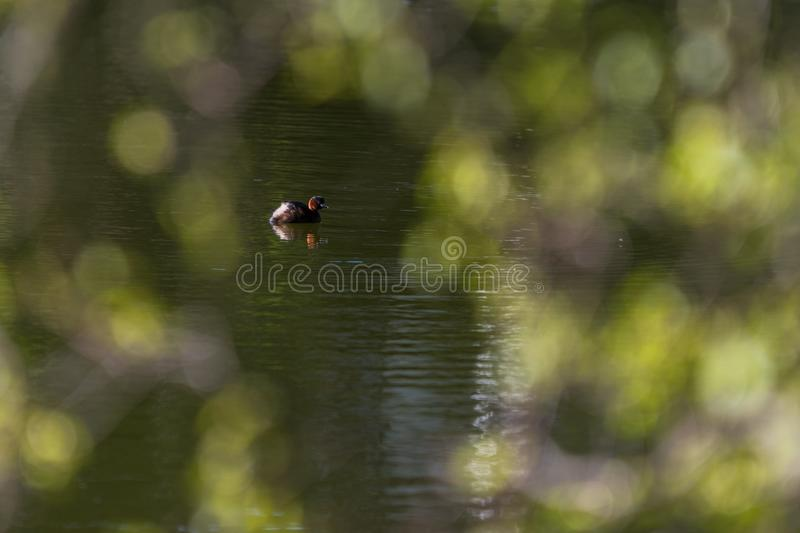 Common Pochard Aythya ferinain royalty free stock images