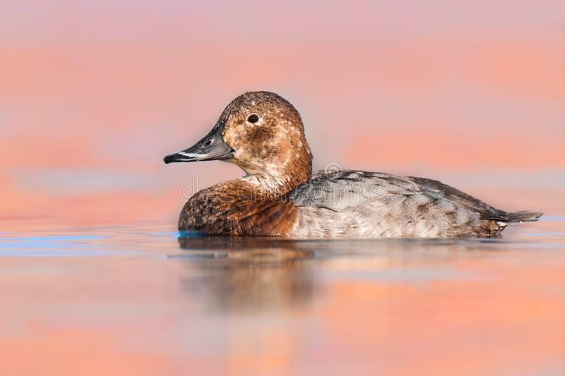 Common pochard female Aythya ferina-Czech Republic, beautiful bird from rivers, lakes and ponds stock photo